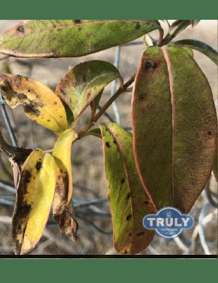 Leaf Spot Treatment