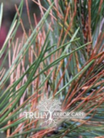 Pine Tip Blight Treatment